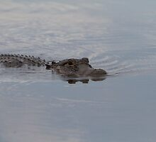 Alligator in the Everglades by Keith Larby