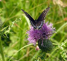 Butterfly on Bull Thistle - The Wheatfield, Gettysburg by lisacd1863
