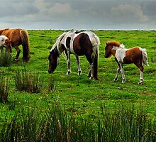 Dartmoor Ponies, Devon, UK by buttonpresser