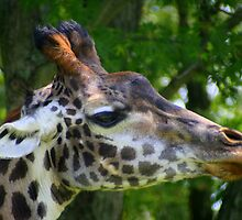 Giraffe Up Close by Laurel Talabere