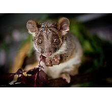 """Gumnut"" Ringtail Possum Photographic Print"