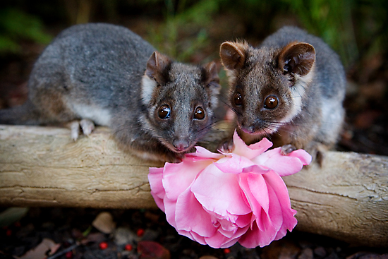 """Malu & Kitten"" Ringtail Possums by Amber  Williams"