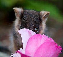 """""""Lilac"""" Ringtail Possum by Amber  Williams"""