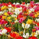 Tulips Galore by Ms.Serena Boedewig