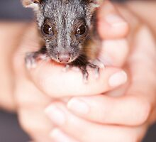 """Aloe"" Ringtail Possum by Amber  Williams"