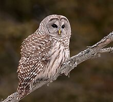 Barred Diagonally / Barred Owl by Gary Fairhead