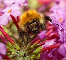 Honey bee on a buddleia flower by Shaun Whiteman