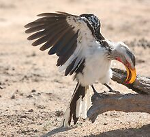 Yellow-billed Hornbill by Melissa  Whitby