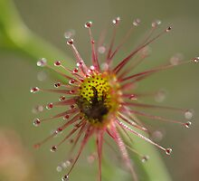 The Sundew Trap by kalaryder