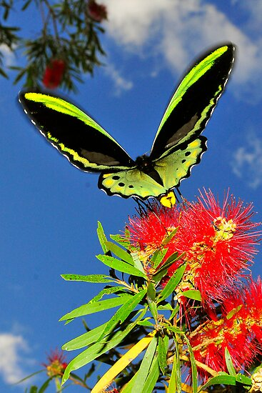butterfly on bottle brush flower by Carle Parkhill
