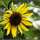 SunFlower by adrisimari
