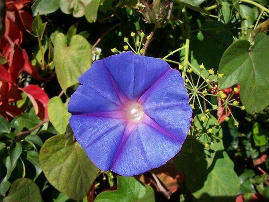 Purple Star by Chanzz
