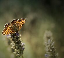 Beautiful Butterfly by Matt Sillence