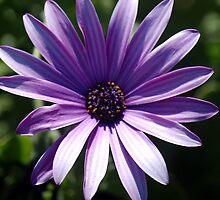 Purple Majesty by Cupertino