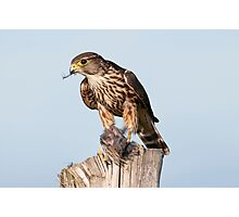 Merlin with catch Photographic Print
