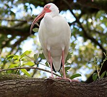 White Ibis - Hanging out! by Missy Yoder