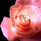 """""""Open Rose"""" by bimak"""
