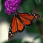 Giant Monarch by BarbL