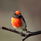 Red-capped Robin ... so cooperative by mosaicavenues