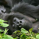 Sleeping Giant - Mountain Gorilla by naturalnomad