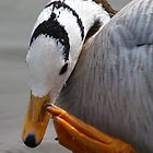 Bar-Headed Goose. (Anser indicus) by JanSmithPics