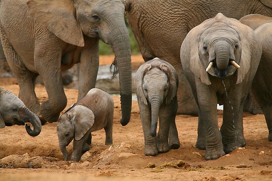Baby African Elephants by naturalnomad
