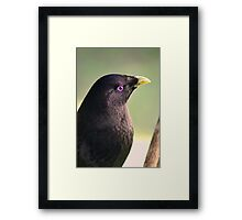 Male Bower Bird Framed Print
