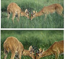 BOHOR REEDBUCKS (Redunca redunca) (TOP REF PHOTO / BOTTOM ART) PLEASE READ BLURB by DilettantO