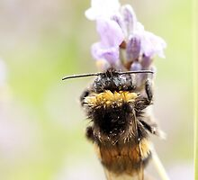 Bedraggled Bee by M R Cooper