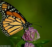 Monarch Butterfly stopping to eat by Matthew  Steffen