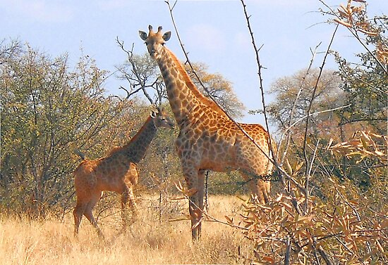 THE LATEST NEW COMMER!  The Giraffe baby ! by Magaret Meintjes