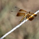 Dragonfly or Damselfly? by Barb Miller