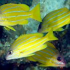 Blue lined Snappers by Deb Aston