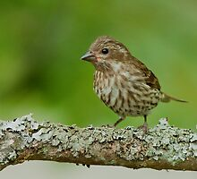 Purple Finch (Female) by Wayne Wood