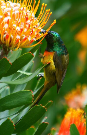 Orange-breasted Sunbird on Protea by naturalnomad