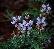 Bajada Lupine, Lupinus succulentus by Stormygirl