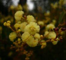 Best Dressed Wattle Blossom in Town by beeden