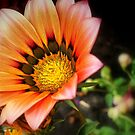 Jazzy Gazania by naturelover