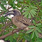 Grey hornbill by jozi1