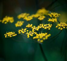 Fennel Flower by Paul Ridley