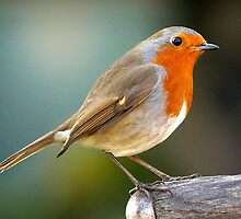 Robin on Fork by Norfolkimages