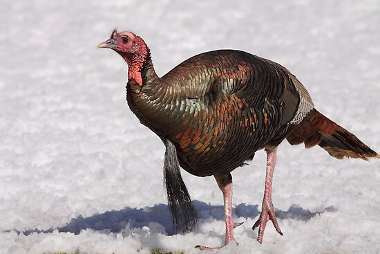 Wild Turkey in the Snow by naturalnomad
