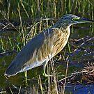 Squacco heron by jozi1