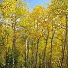 Golden Aspens by Nikki Lesley