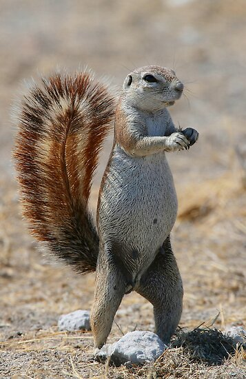 Got Nuts? - Cape Ground Squirrel by naturalnomad