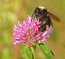 Bumble Bee by Randall Ingalls