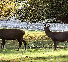 Young Bucks - Red Deer by Trevor Kersley