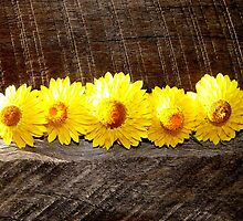 paper daisies by elsha