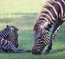 Mama and Baby Zebra by Paulette1021