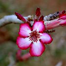 Impala Lily 2 by Antionette